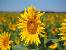 Free Flower, Sunflower, Yellow, Sunflower Seed Royalty Free Stock Photo - 89914475