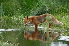 Free Wildlife, Fauna, Mammal, Red Fox Stock Photography - 89914602