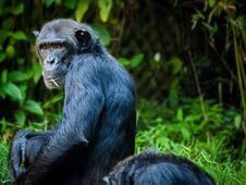 Free Chimpanzee, Common Chimpanzee, Great Ape, Mammal Royalty Free Stock Photo - 89914855