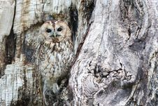 Free Owl, Tree, Fauna, Bird Of Prey Stock Photography - 89915662