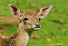 Free Wildlife, Deer, Fauna, Mammal Royalty Free Stock Photography - 89916057