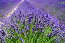 Free English Lavender, Lavender, Plant, Flower Stock Photos - 89916353