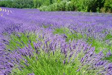 Free English Lavender, Plant, Lavender, Flower Stock Image - 89916411