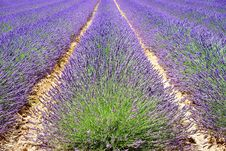Free English Lavender, Plant, Field, Lavender Stock Photos - 89916523
