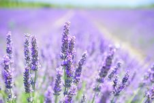 Free Lavender, English Lavender, Flower, Purple Royalty Free Stock Photo - 89916655
