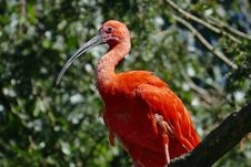 Free Bird, Ibis, Beak, Fauna Royalty Free Stock Photography - 89916787