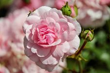 Free Flower, Rose, Pink, Rose Family Royalty Free Stock Photography - 89916857