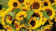 Free Sunflower, Flower, Yellow, Sunflower Seed Royalty Free Stock Image - 89917206