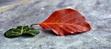 Free Leaf, Plant, Autumn, Maple Leaf Royalty Free Stock Photos - 89917318