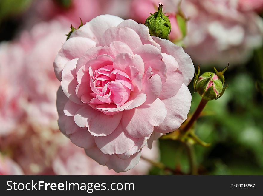 Flower, Rose, Pink, Rose Family