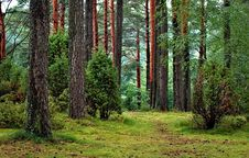 Free Pine Forest Royalty Free Stock Photography - 89963417