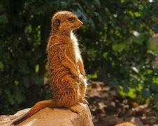 Free Meerkat, Fauna, Mammal, Terrestrial Animal Royalty Free Stock Image - 89964696