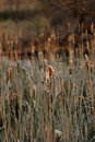 Free Nature: Cattails Stock Photography - 99892