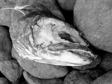 Free Fish Head On Rocks Stock Images - 90134