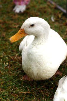 Free Duck Royalty Free Stock Photos - 90518