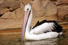 Free Pelican Royalty Free Stock Photo - 90565