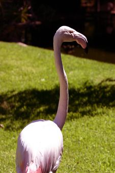 Free Flamingo Royalty Free Stock Photography - 90577