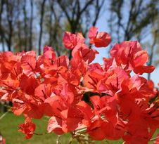 Free Bougainvillae Closeup Royalty Free Stock Photos - 90878