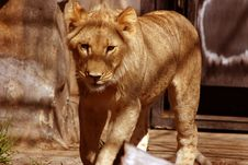 Free Male Lion Royalty Free Stock Photography - 91047