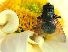 Free The Fly Royalty Free Stock Photography - 91507