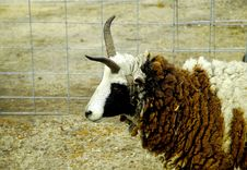 Free Sheep WIth Horns 2 Stock Photo - 92740