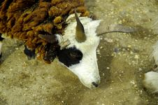 Horned Sheep Stock Image