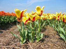 Free Tulip Field Stock Image - 92781