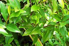 Free Magnolia Bush Royalty Free Stock Images - 92929