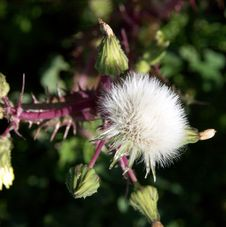 Free Dandelion Royalty Free Stock Images - 93749