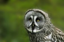 Free Great Grey Owl Royalty Free Stock Photos - 93898