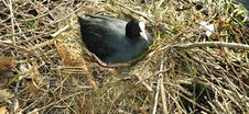 Free Nesting Coot Royalty Free Stock Photography - 94107