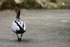 Free Waddling Duck Stock Images - 94124