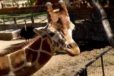 Free Giraffe Royalty Free Stock Photos - 94368