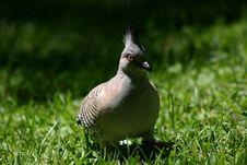 Free Pigeon Royalty Free Stock Photo - 94455