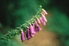 Free Foxglove ( Digitalis Purpurea ) Stock Photos - 94943