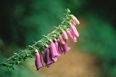 Foxglove ( Digitalis Purpurea ) Stock Photos