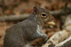 Free Squirrel With Peanut Stock Photography - 95542