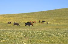 Free Cows In Spring Pasture Stock Images - 96624