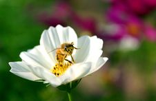 Free Bee On Bloom Stock Photos - 97143
