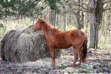 Free Breakfast Time Red Brown Horse Stock Images - 98724