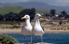 Free Two Seagulls Searching For Food Royalty Free Stock Photos - 98948
