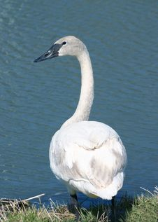 Free Swan By A Pond Royalty Free Stock Images - 99479