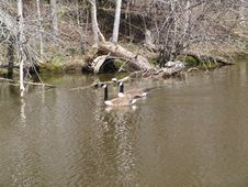 Free Geese In The Water Royalty Free Stock Photo - 99755