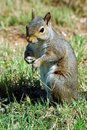 Free Squirrel Royalty Free Stock Photography - 900777