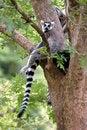 Free Ring Tail Lemur Stock Images - 902654
