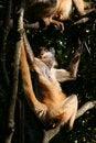 Free Two Monkeys In A Tree Stock Image - 903251