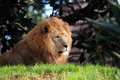 Free Calm Lion Royalty Free Stock Photography - 904137