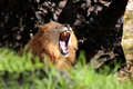 Free Lion Mouth Stock Images - 904254