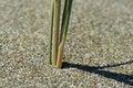 Free Dune Grass Stalk Close-up Stock Photo - 905060