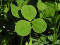 Free A Three-leafed Clover Stock Photos - 906883